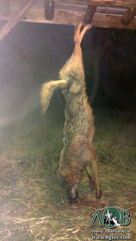 Лов на вълк в Ихтиманско