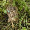 Разселиха първите изкуствено произведени диви зайци