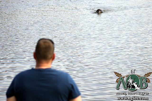 Тренировка на млади дратхаари във вода с дивеч патица