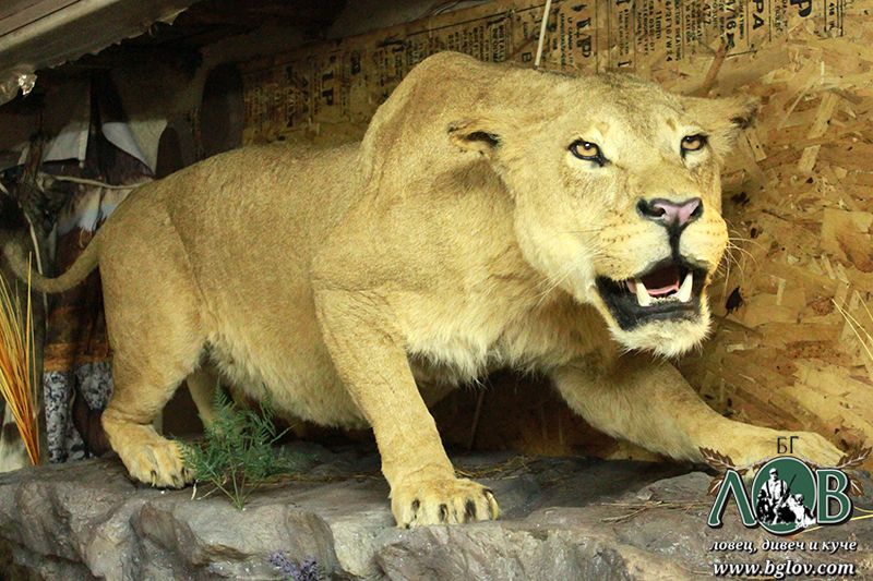 Лъвица2