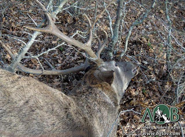 Открит мъртъв елен в бракониерска примка