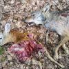 Вълк убива сръндак