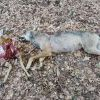 Ловец отстреля вълк с половин сръндак в уста в Рила