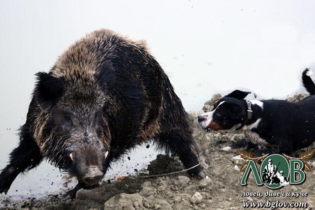 Състезание за ловни кучета в гатера край с. Черноочене 2019