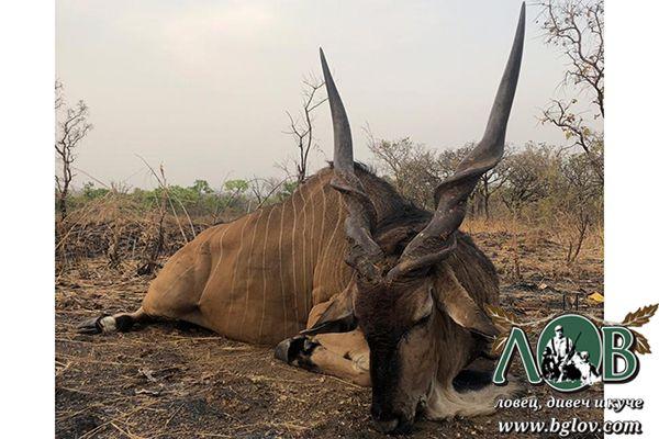 Голяма африканска антилопа (Lord Derby Eland)