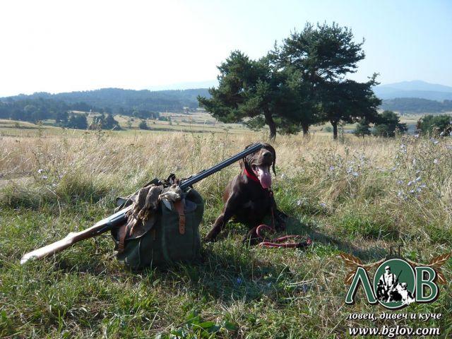 Курцхаар охранява багажа на ловеца