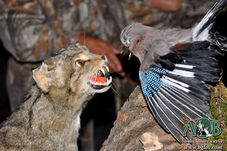Изложба на ловни трофеи в гр.Трън, 6.10.2012г.